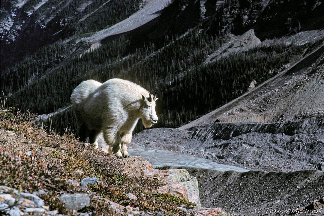 Canada tmosconi 895101
